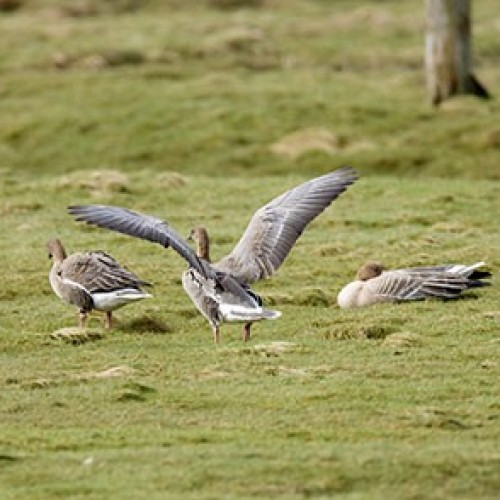 A wind turbine could increase pink-footed goose mortality rate.